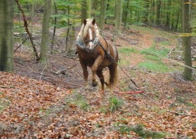Arbeitspferde in der Landschaftspflege
